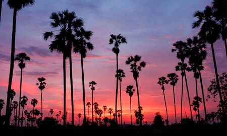 Sugar Palm Tree as silhouette in sky sunset twilight time
