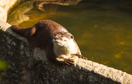 Oriental small-clawed otter,aonyx cinerea Stock Photo