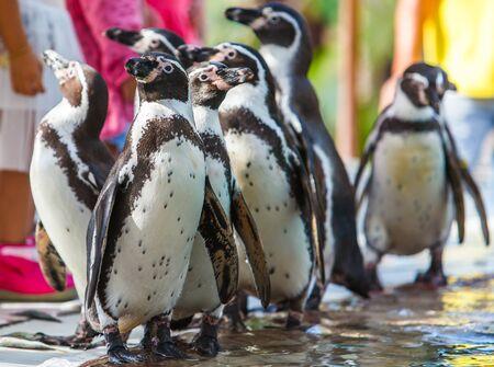 fullbody: Penguin Humboldt Stock Photo