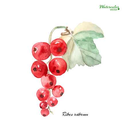 red currant: Vector watercolor illustration -  a branch of ripe red currant isolated on  a white background.