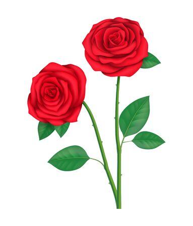 Zwei rote Rosen Standard-Bild - 70482100