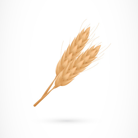 Cultivated wheat bunch. Cereal grain, grass, gluten. Agriculture concept. Can be used for greeting cards, posters, leaflets and brochure