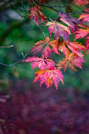 field maple: autumn colourful maple leaves close up shallow depth of field Stock Photo