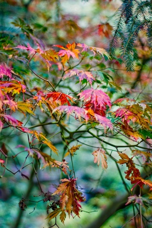 field maple: autumn colourful maple leaves with shallow depth of field Stock Photo