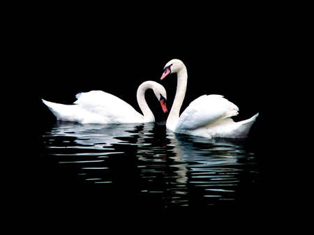 Two white swans, isolated on black  Stock Photo