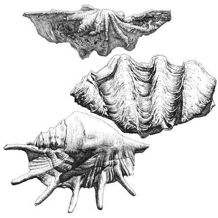 seashell: illustration with different realistic seashells on white background Illustration