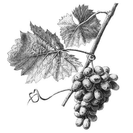 uvas: Ilustración con uvas y hojas sobre un fondo claro