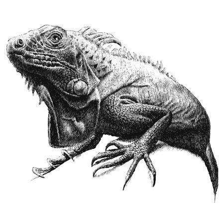 illustration with a large iguana. hand draw.