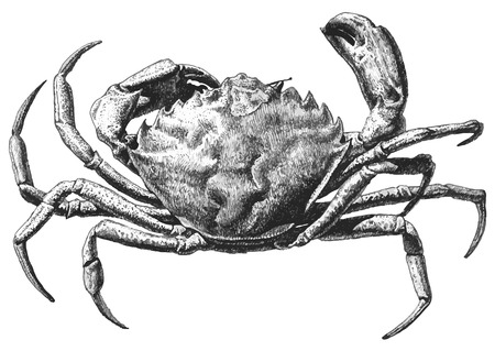 illustration with a large crab drawn by hand on a light background