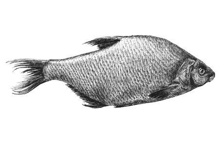 common carp: illustration with realistic fish