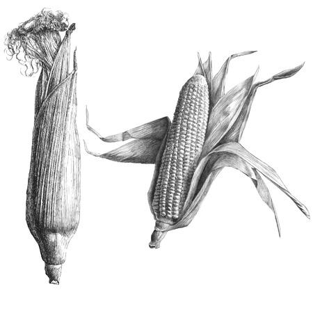 planta de maiz: Ilustración monocromática con el maíz en un fondo claro