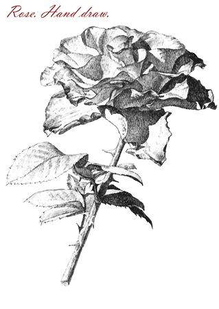 Illustration avec rose sur blanc background.hand tirage. Banque d'images - 35839724