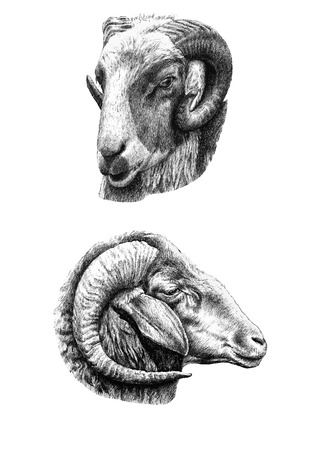 two heads: illustration with two heads goat (hand draw) Illustration