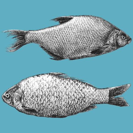 illustration with  two realistic fish (Abramis brama, Carassius)  イラスト・ベクター素材