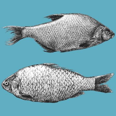 crucian: illustration with  two realistic fish (Abramis brama, Carassius) Illustration