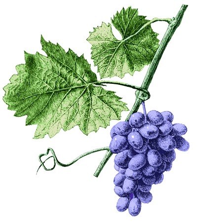 Illustration with grapes and leaves (hand draw)