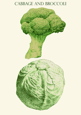 brocoli: colored illustration with  cabbage  and  brocoli  (hand draw)