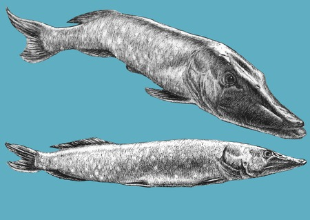fishery: Illustration with two realistic pike. Hand draw illustration