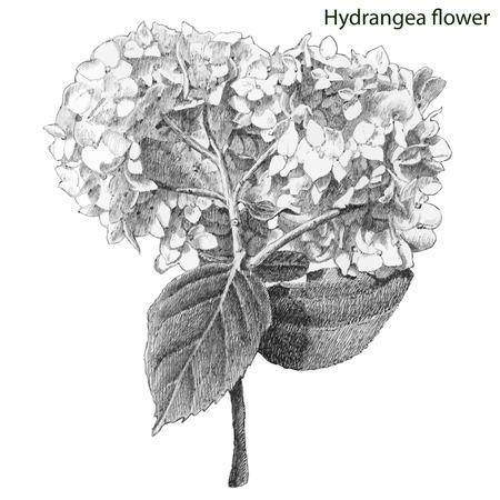 hydrangea: hydrangea flower. hand drawn.
