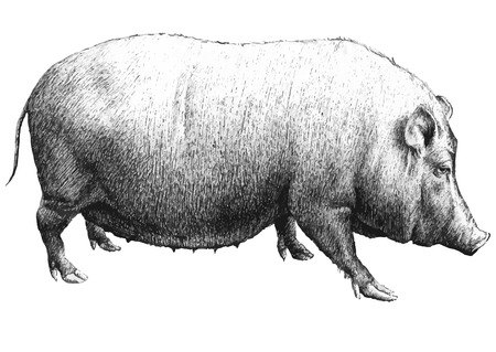 illustration with a large pig (hand draw)