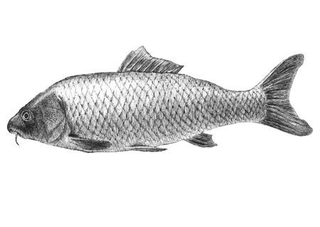 crucian: illustration with realistic carp fish (Cyprinus carpio carpio) Illustration