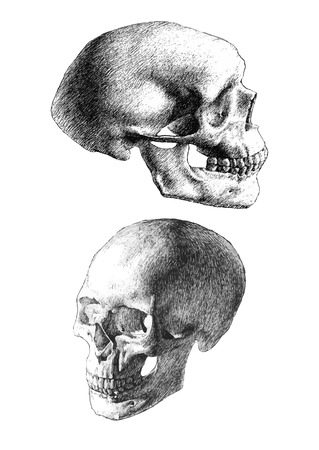 anatomical: illustration with two anatomical skulls  (hand draw)