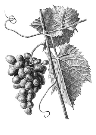 Illustration with grapes and leaves on a white background Çizim