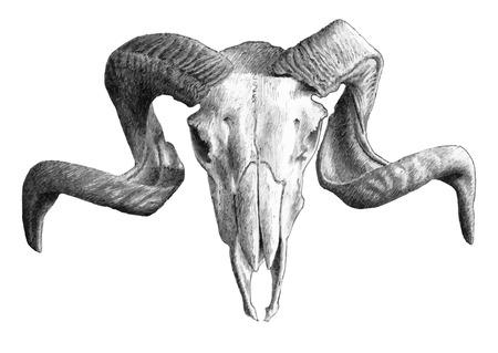cabras: ilustraci�n con el cr�neo. dibujar a mano. Vectores