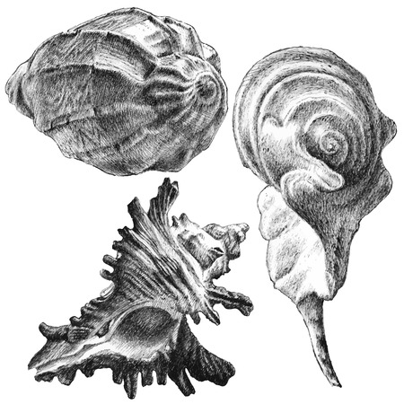 cockle: illustration with different realistic seashells on white background Illustration