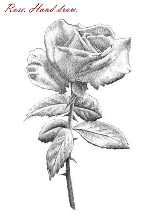 thorns and roses: illustration with rose on white background. hand draw.