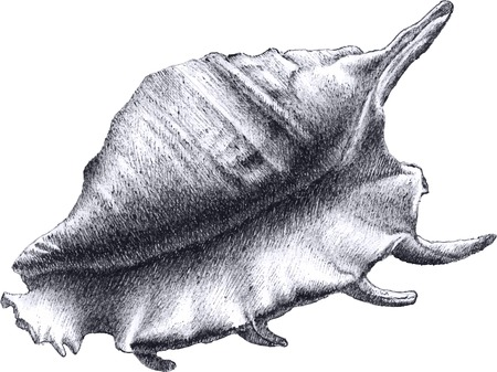cockle: realistic shell. hand draw