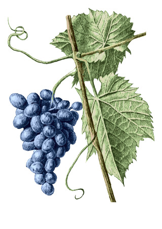 grape: colored illustration with grapes and leaves on a white background
