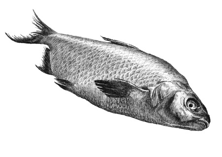 common carp: illustration with realistic fish. hand draw. Illustration