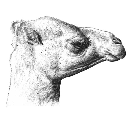 the head of a camel. hand draw.