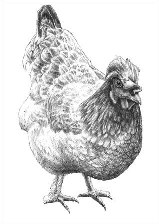 illustration with realistic hen hand draw royalty free cliparts vectors and stock illustration image 39278478