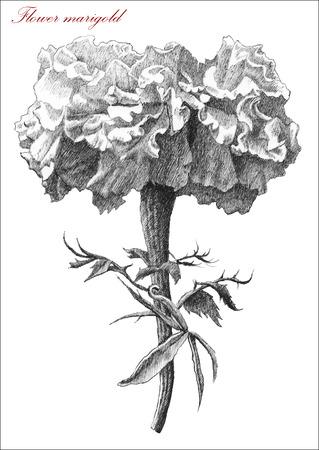 cempasuchil: Flor de la maravilla. Dibujar a mano.