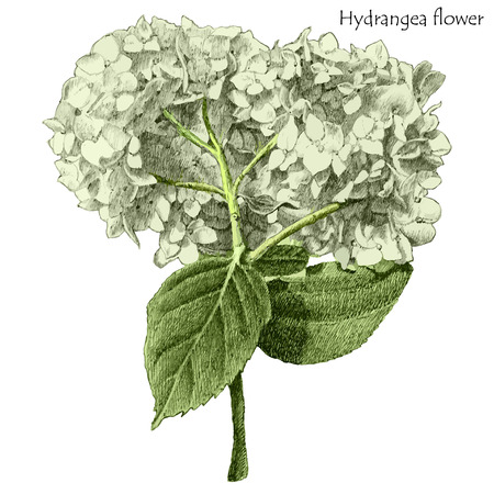 fragrant bouquet: hydrangea flower. hand drawn.