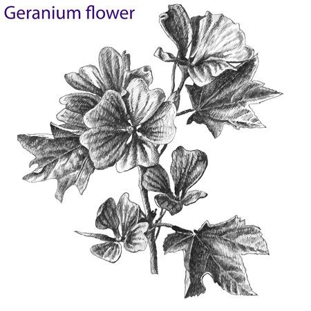geranium: geranium flower. hand drawn. Illustration