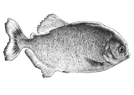 voracious: Piranha fish. Hand drawn. Illustration