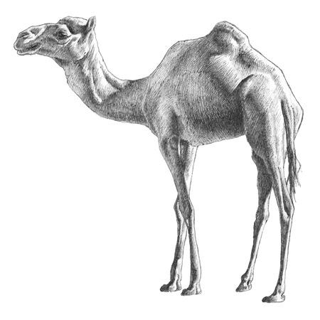 낙타 그림. 손으로 그린.