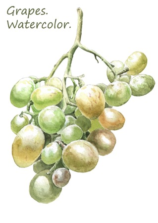 Illustration with colored grapes. Watercolor. Hand drawn.