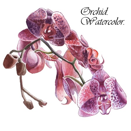Illustration with orchid. Watercolor. Hand drawn.