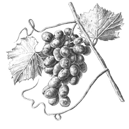Illustration with grapes and leaves on a white background Ilustração