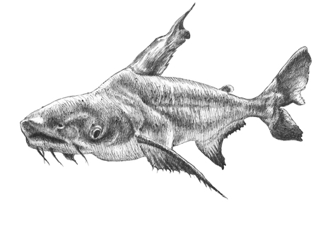 Illustration with realistic fish. Pangasius hypophthalmus. Hand drawn.