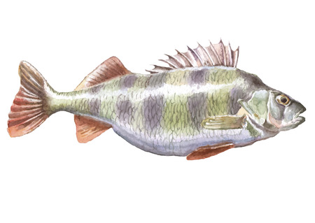 Perch. Watercolor. Hand drawn. Perca fluviatilis.