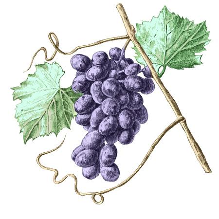 Illustratie met druiven en bladeren. hand tekenen.