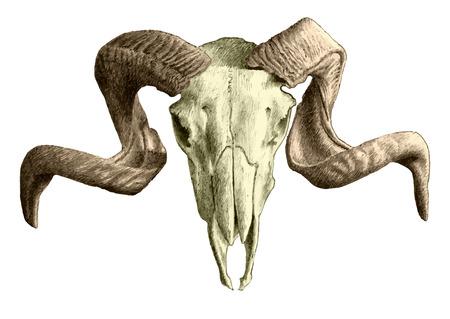illustration with goat  skull. hand drawn