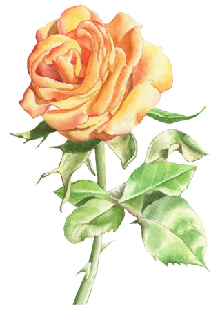 hand drawn rose: Illustration with realistic rose. Vector. Watercolor. Hand drawn.