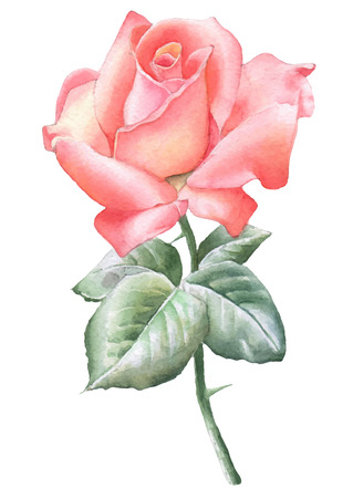 Illustration with red rose. Vector. Watercolor. Hand drawn. Ilustração