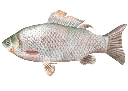 Illustration with crucian fish. Watercolor. Carassius. Ilustração